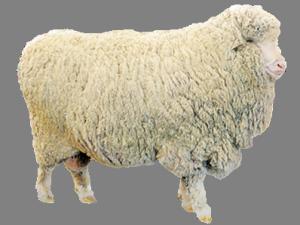 ovca-merinos